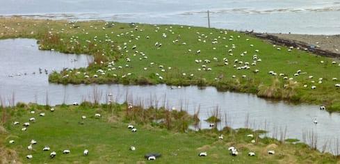 Une colonie de canards eiders